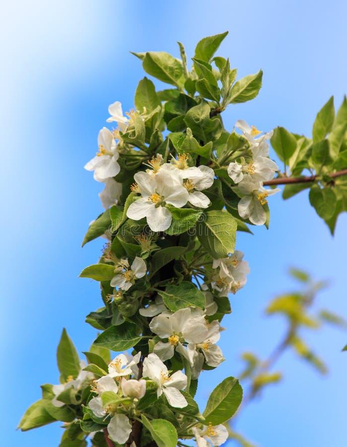 Bloemen op een fruitboom in de lente royalty-vrije stock foto