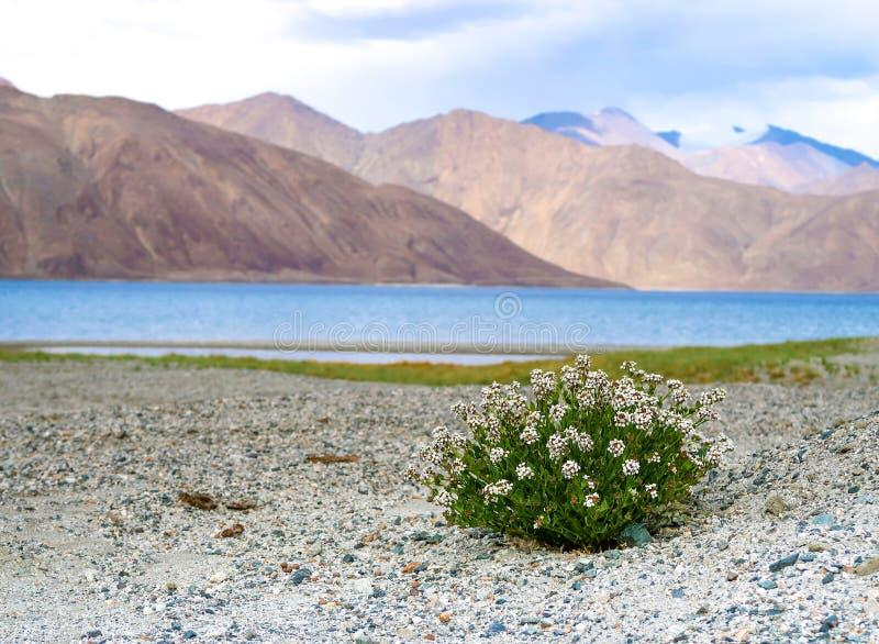 Bloemen op het de kust, Pangong-Meer of Pangong Tso, Ladakh, India stock foto's