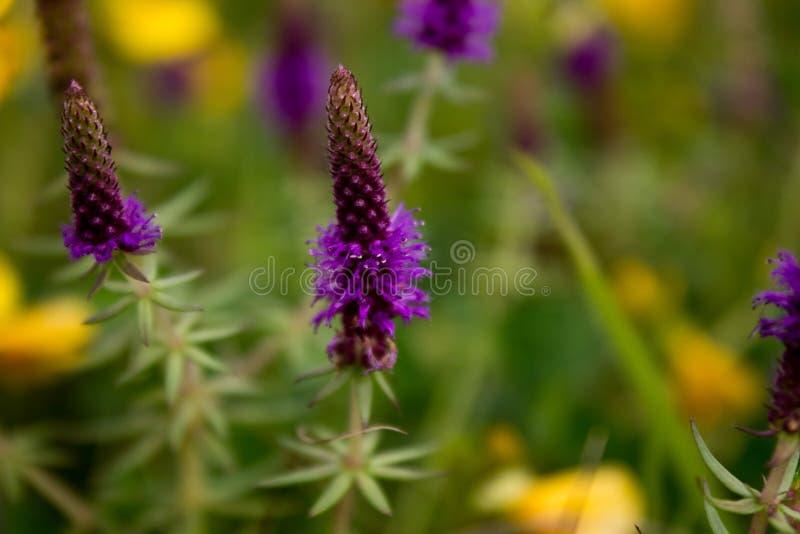 Bloemen & x28; Pogostemon deccanensis& x29; stock afbeeldingen