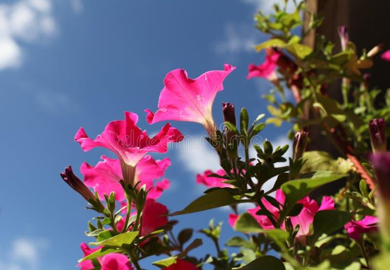 Bloemen rode petunia dicht bij stock afbeelding