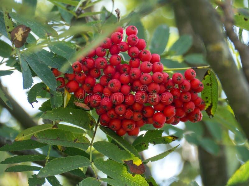 Bloemen rode vruchten stock afbeelding