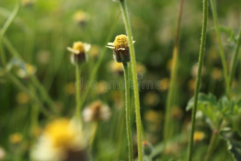 Bloemen Tridax procumbens royalty-vrije stock afbeeldingen