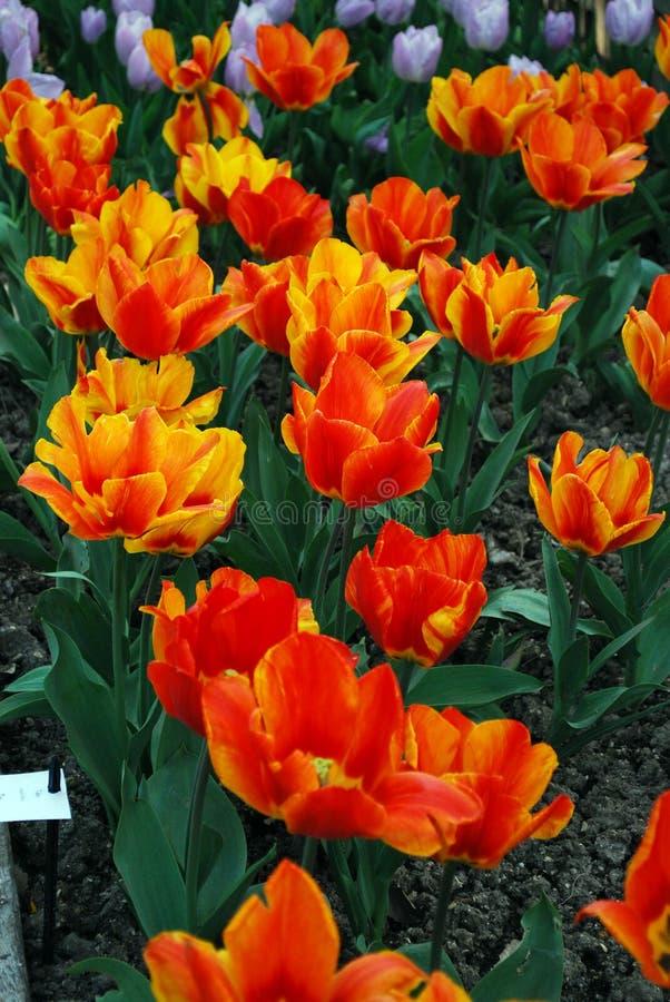 Bloemen Tulpen stock afbeeldingen