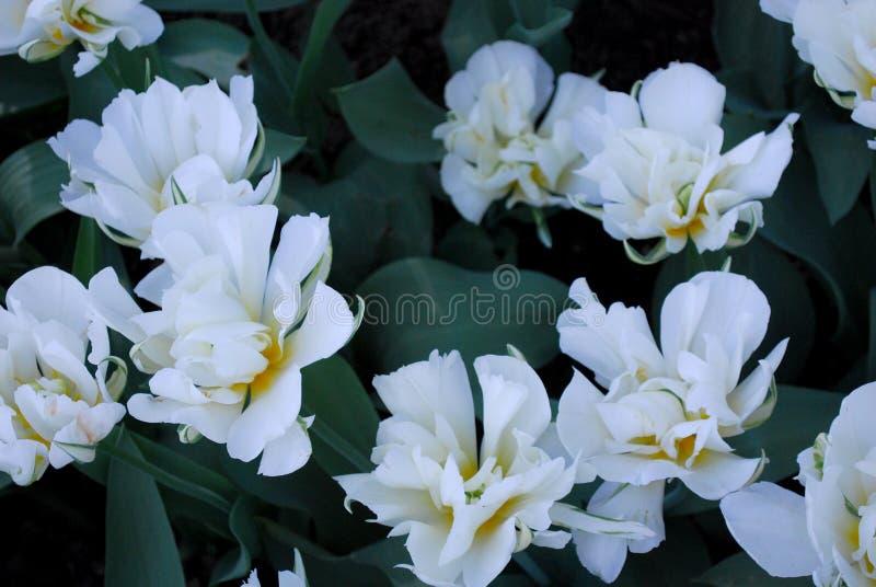 Bloemen Tulpen stock afbeelding