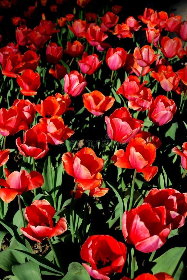 Bloemen Tulpen royalty-vrije stock afbeelding