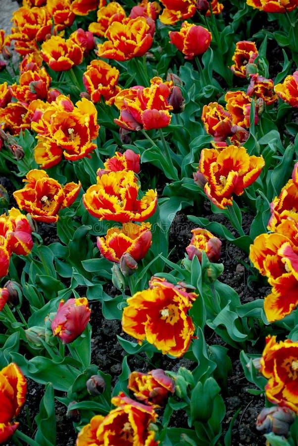 Bloemen Tulpen royalty-vrije stock foto's