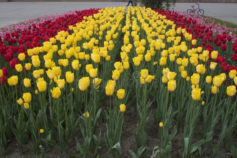 Bloemen, tulpen royalty-vrije stock afbeelding