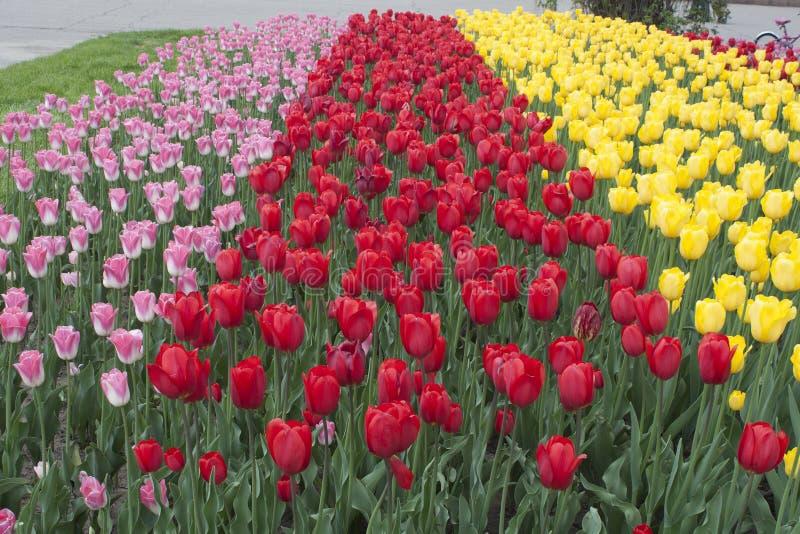Bloemen, tulpen stock foto