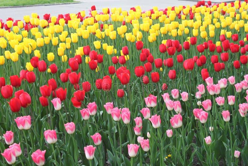 Bloemen, tulpen stock fotografie