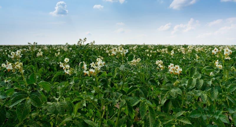 Bloemen van aardappelplant stock foto's