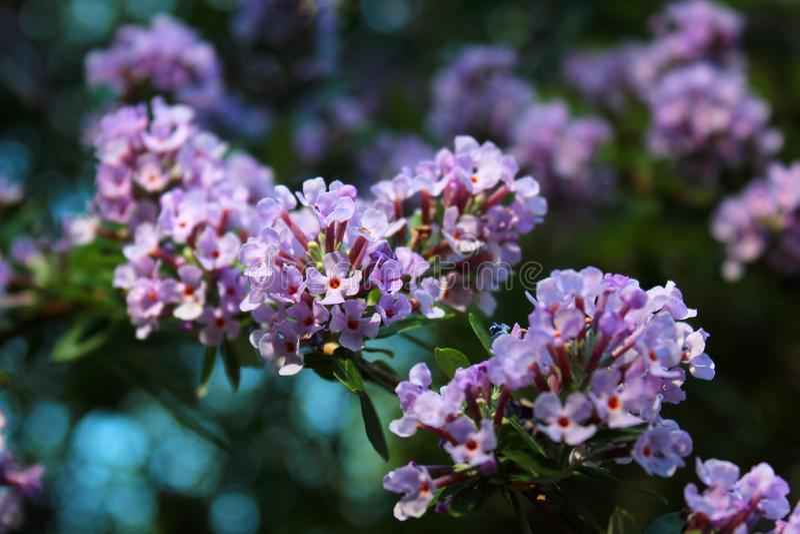 Bloemen van alternate-leaved vlinder-Bush stock foto's