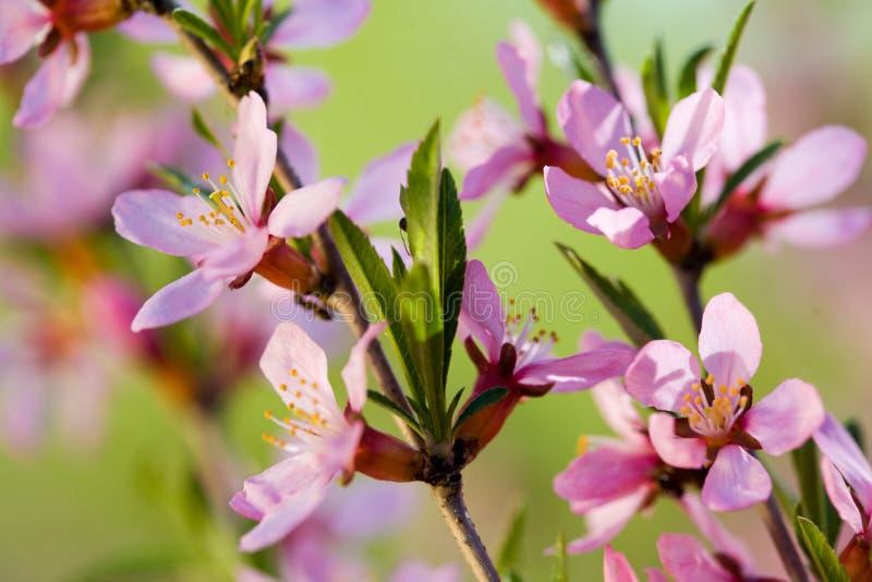 Bloemen van amandelboom stock foto