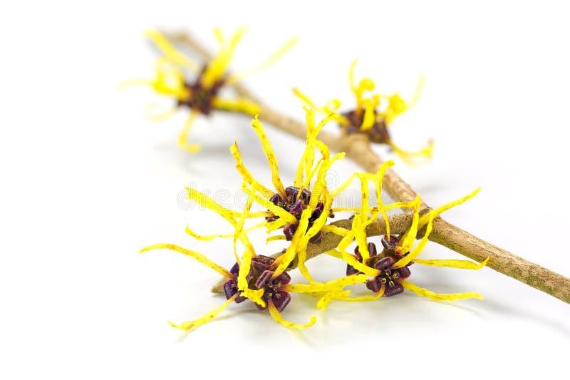 Bloemen van Amerikaanse toverhazelaar, geneeskrachtige die installatie Hamamelis, op w wordt geïsoleerd royalty-vrije stock afbeeldingen