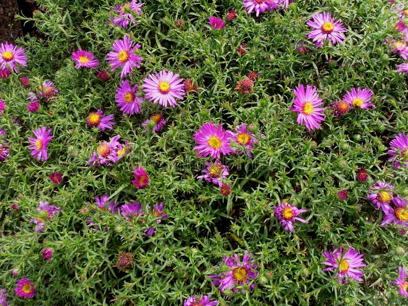 Bloemen van Astra in de de zomerzon stock afbeelding