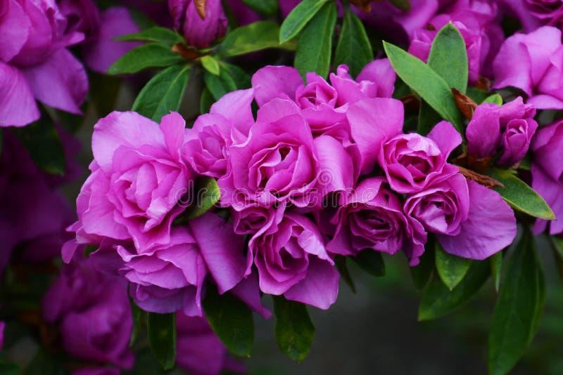 Bloemen van azalea stock afbeelding