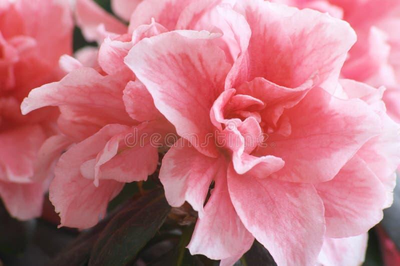 Bloemen van Azalea royalty-vrije stock fotografie