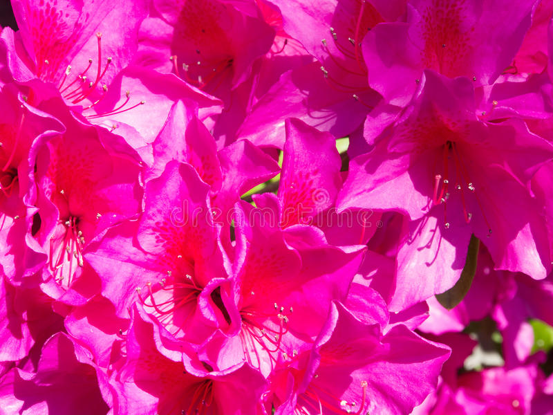Bloemen van azalearoze royalty-vrije stock afbeeldingen