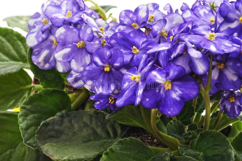Bloemen van blauw viooltje met strook royalty-vrije stock afbeelding
