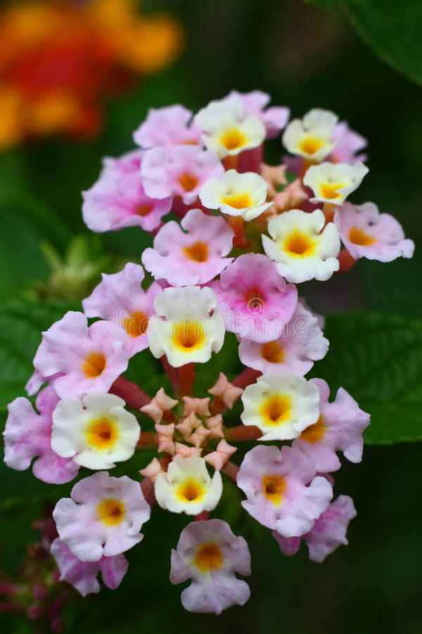 Bloemen van camara Lantana royalty-vrije stock foto
