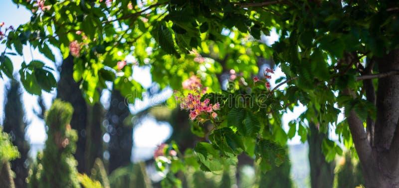 bloemen van chesnutboom stock afbeelding