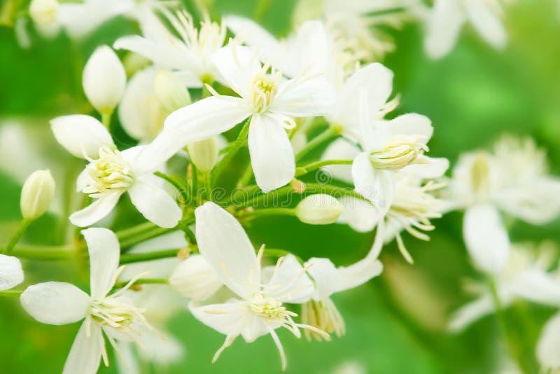 Bloemen van clematissen alba luxurians tot bloei komende clematissen De zomer bloemenlandschap Macro stock fotografie