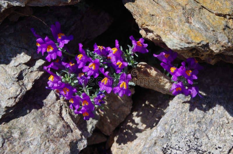 Bloemen van de Alpen royalty-vrije stock foto