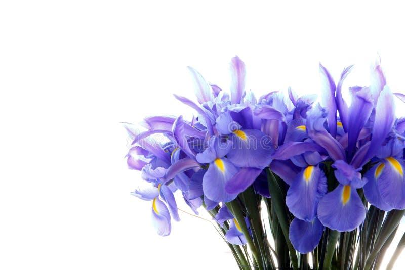 Bloemen van de groeps de purpere die iris op wit worden geïsoleerd royalty-vrije stock foto