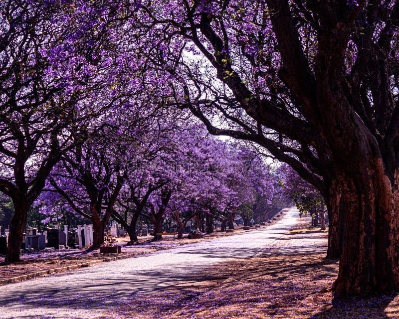 Bloemen van de Jacaranda-bomen van Johannesburg stock foto's