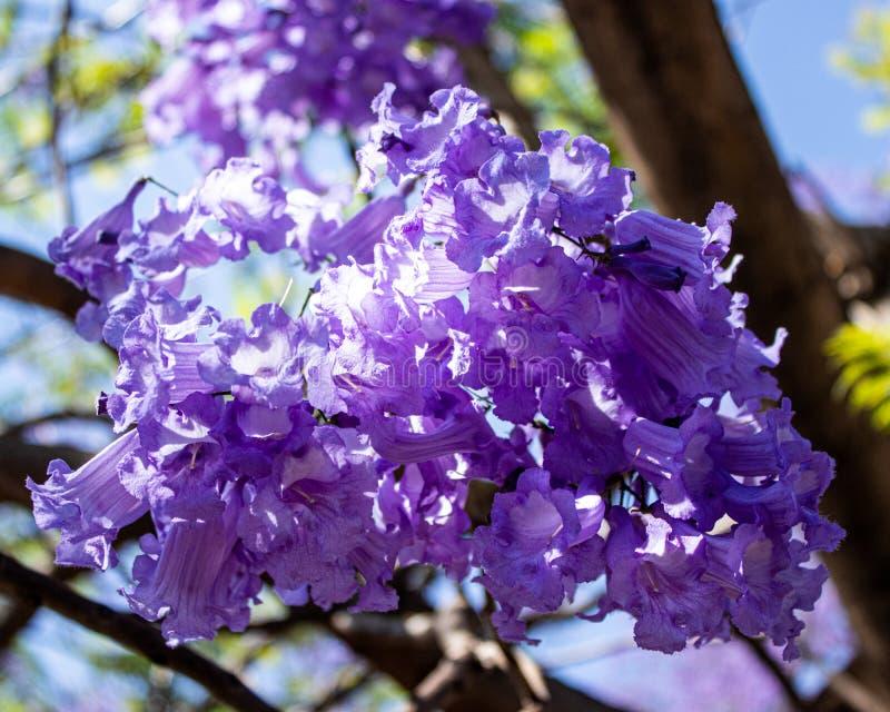 Bloemen van de Jacaranda-bomen van Johannesburg royalty-vrije stock foto