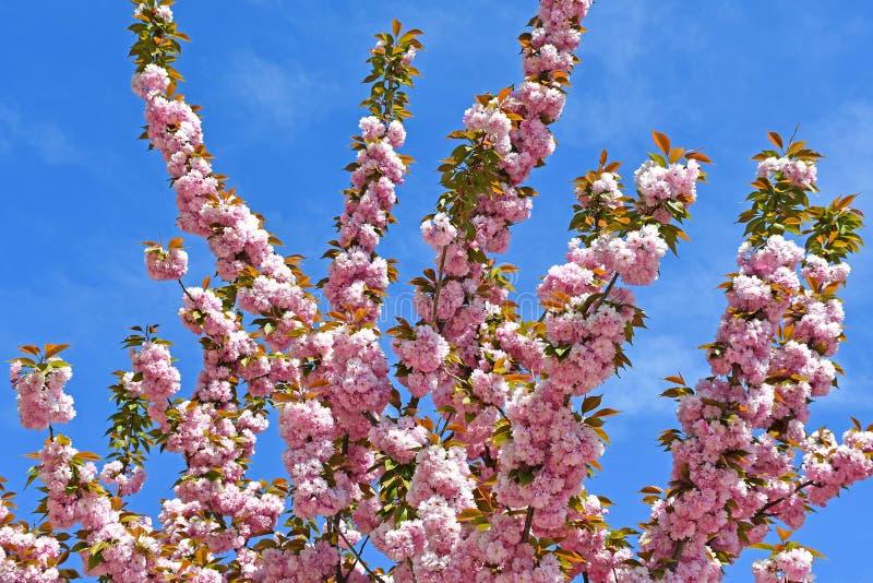 Bloemen van de Japanse kersenboom tegen blauwe hemel royalty-vrije stock afbeeldingen