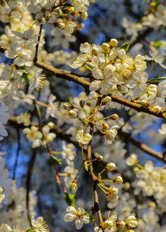 Bloemen van de kersenbloesems in een de lentedag stock fotografie