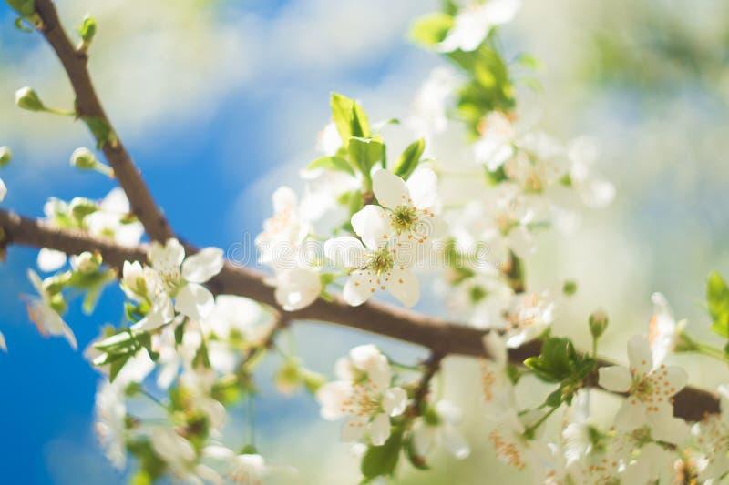 Bloemen van de kersenbloesems op een de lentedag royalty-vrije stock afbeeldingen