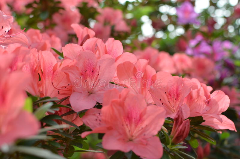 Bloemen van de koraal de roze azalea royalty-vrije stock afbeeldingen