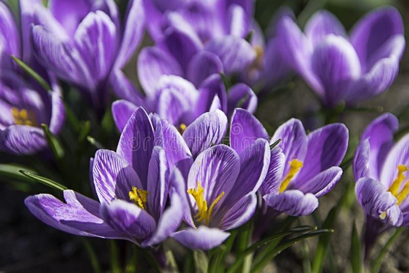 Bloemen van de krokus de eerste lente Macrokrokussen stock foto