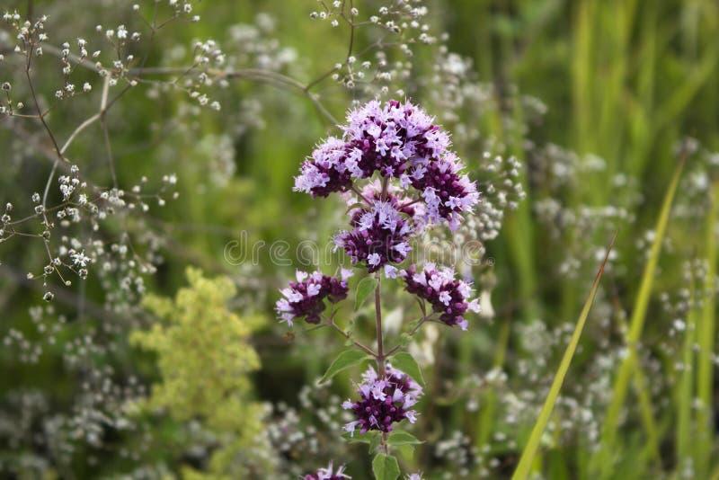 Bloemen van de orego sluiten de kruideninstallatie omhoog in een weide in de zomerdag stock afbeeldingen