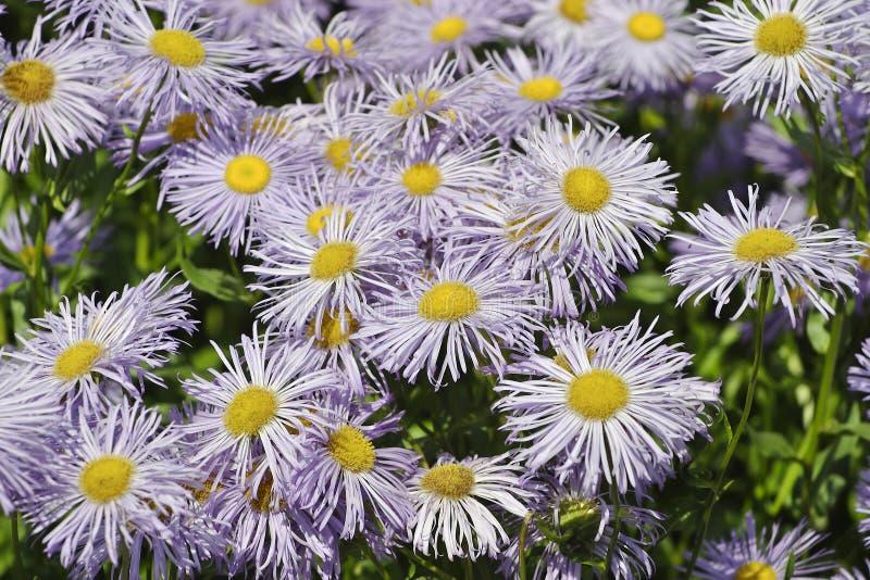 Bloemen van de Tuin Fleabane of speciosus van Weidefleabane Erigeron royalty-vrije stock fotografie