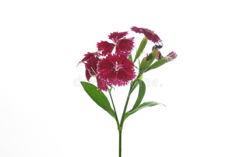 Bloemen van dianthus op een witte achtergrond stock afbeelding