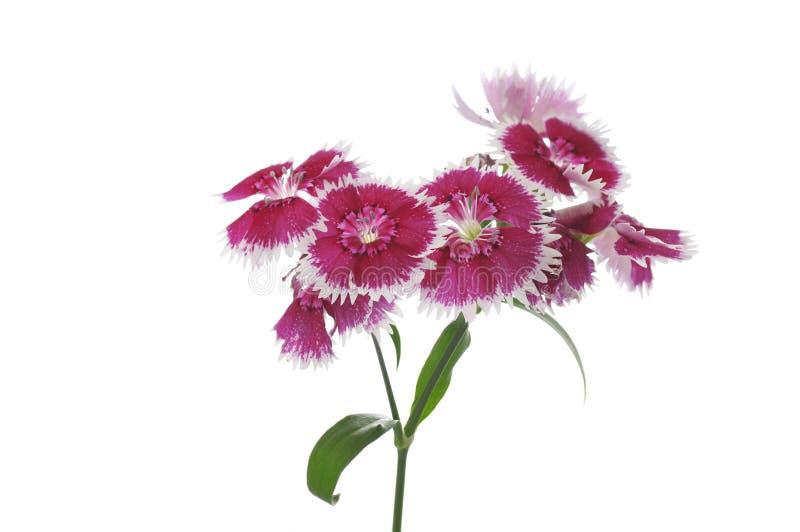 Bloemen van dianthus op een witte achtergrond royalty-vrije stock afbeeldingen