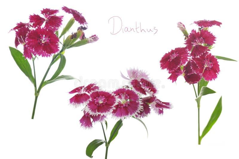 Bloemen van dianthus op een witte achtergrond royalty-vrije stock foto's