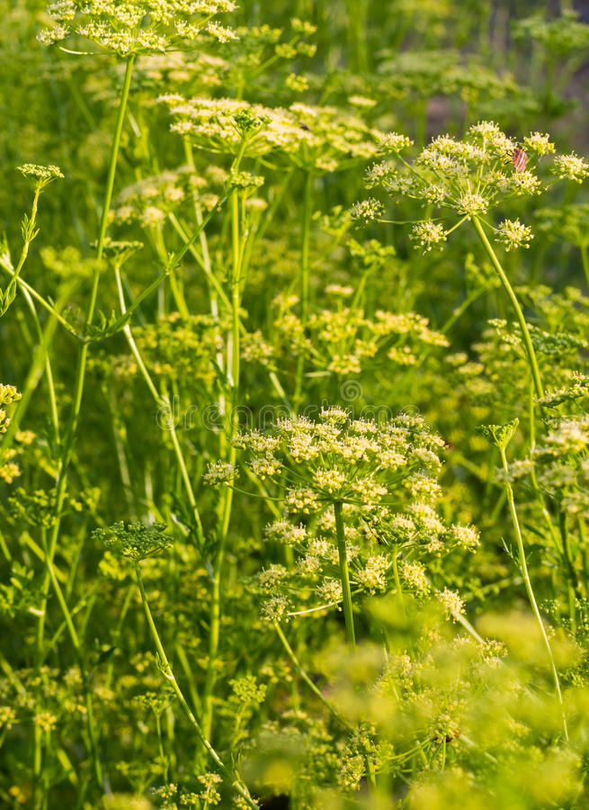 Bloemen van dille stock afbeeldingen