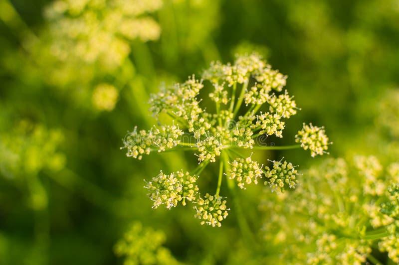 Bloemen van dille stock fotografie