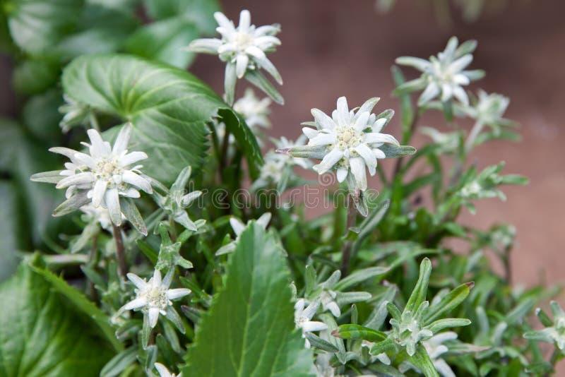 Bloemen van Edelweiss stock foto's