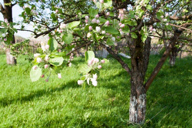 Bloemen van een appelboom in de lente zonnige tuin stock afbeelding