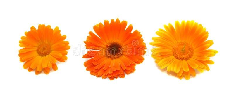 Bloemen van een calendula stock afbeelding