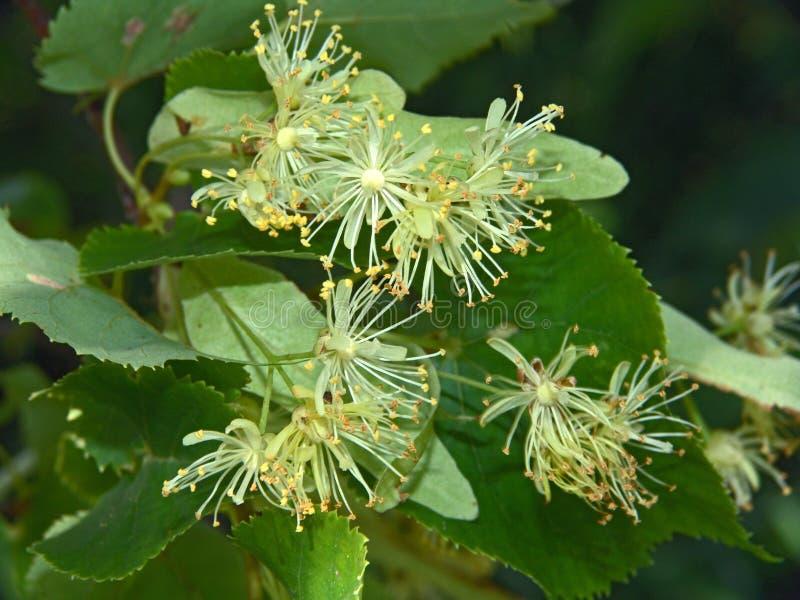 Bloemen van een linde. stock foto's