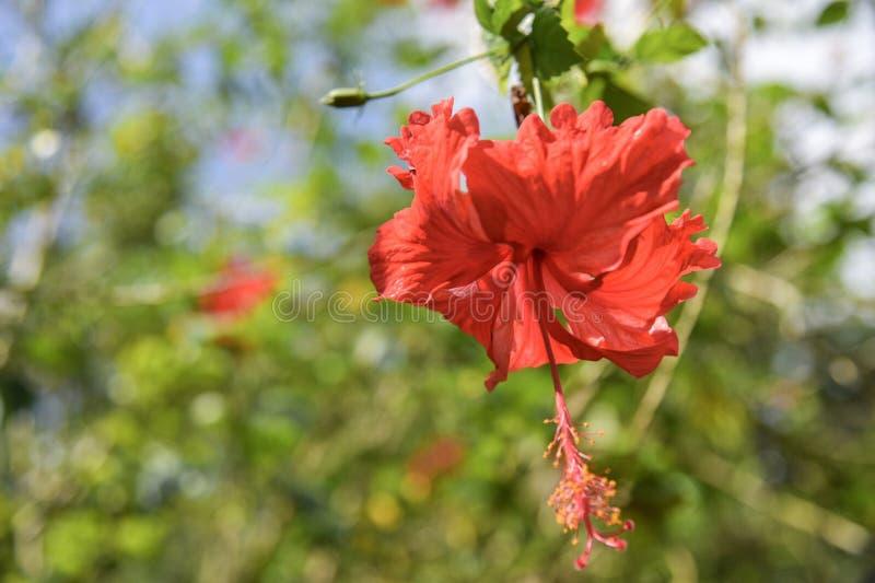 Bloemen van een rode hibiscus & x28; Chinese rose& x29; stock fotografie