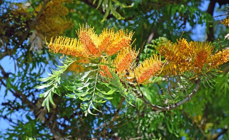 Bloemen van een Zijde Eiken boom of een Grevillea robusta in Laguna Hout, Caifornia stock foto