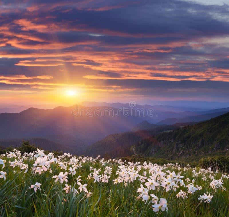 Bloemen van gele narcissen in de bergen stock fotografie