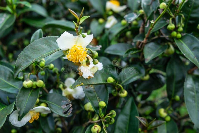 Bloemen van groene thee royalty-vrije stock foto's