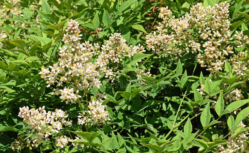 Bloemen van Heilige Bamboe of Nandina-domestica royalty-vrije stock afbeeldingen